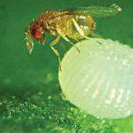 Bu Fabrika Böcek Üretiyor: Ziraat Fakültesi Bitki Koruma Bölümünden Böcek Fabrikası