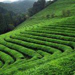 Çay Tarımı ve İşleme Teknolojisi Bölümü 2019 2018 Taban Puanları ve Başarı Sıralaması